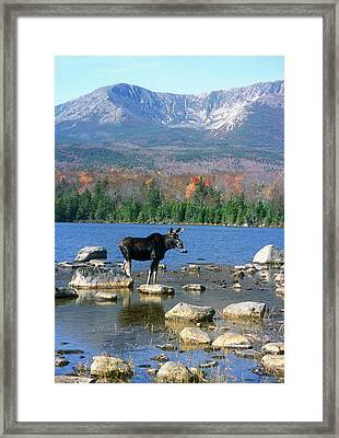 Bull Moose Below Mount Katahdin Framed Print by John Burk