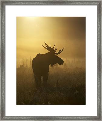 Bull Moose In Fog Framed Print