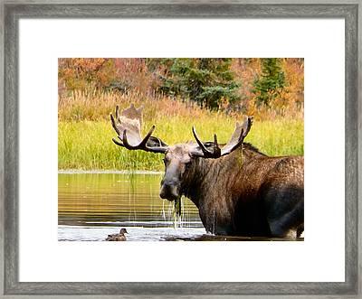 Bull Moose In Grayling Lake Framed Print by Adam Owen