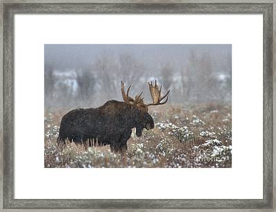 Framed Print featuring the photograph Bull Moose In The Fog by Adam Jewell