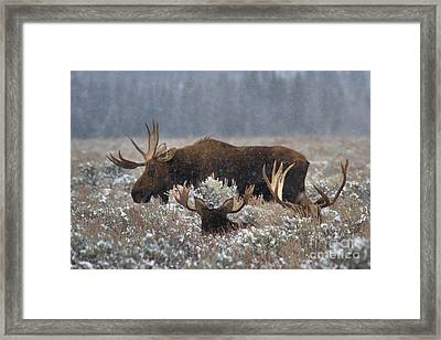Framed Print featuring the photograph Bull Moose In The Snowy Meadow by Adam Jewell