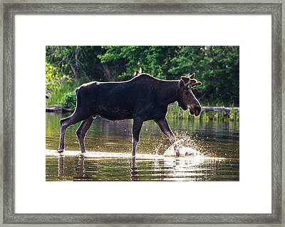 Bull Moose Morning #1 Framed Print