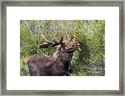 Bull Moose Framed Print by Teresa Zieba