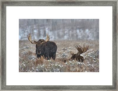 Framed Print featuring the photograph Bull Moose Winter Wandering by Adam Jewell