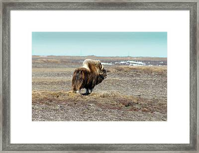 Bull Musk Ox Framed Print