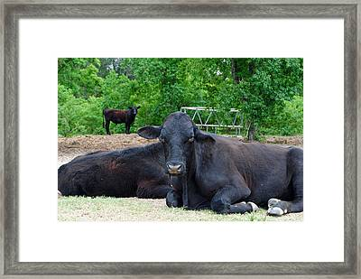 Bull Relaxing Framed Print