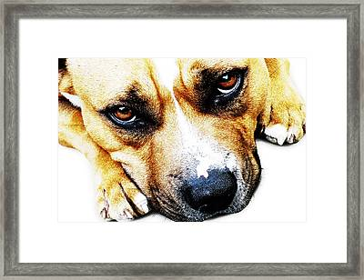 Bull Terrier Eyes Framed Print by Michael Tompsett