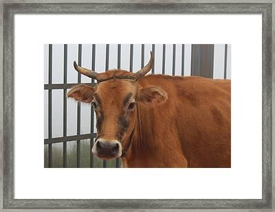 Bull With Eyebrows, Kodaikanal Framed Print