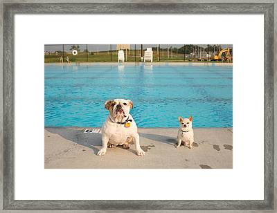 Bulldog And Chihuahua By The Pool Framed Print by Gillham Studios