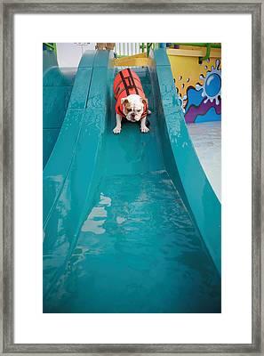 Bulldog Going Down Waterslide Framed Print by Gillham Studios
