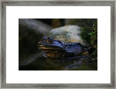 Bullfrog 1 Framed Print