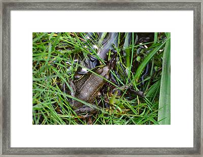 Bullfrog Framed Print by Chris Tennis