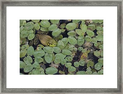 Bullfrog No. 1 - Mystic Connecticut Framed Print by Henry Krauzyk