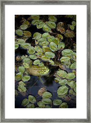 Bullfrog No. 2 - Mystic Connecticut Framed Print by Henry Krauzyk