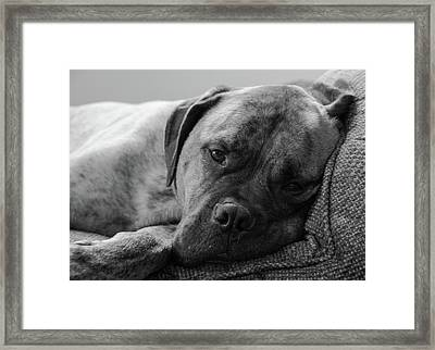 Bullmastiff B/w Framed Print by Jennifer Ancker