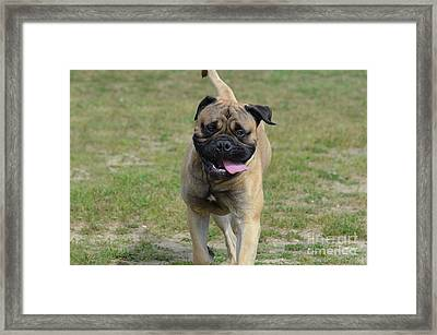 Bullmastiff Dog With His Tongue Hanging Out Framed Print