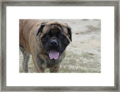 Bullmastiff Face Up Close Framed Print