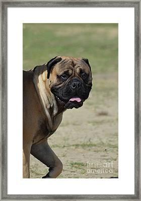 Bullmastiff Posing For A Side View Framed Print