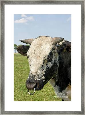 Bull's Head With Ring Framed Print by Patricia Hofmeester