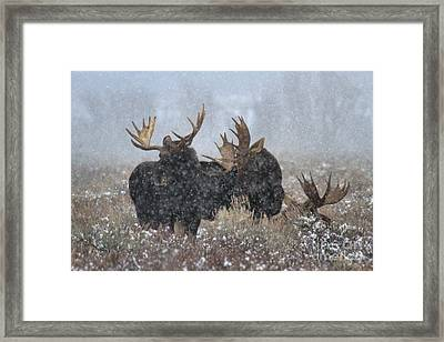 Framed Print featuring the photograph Bulls In The Snow by Adam Jewell