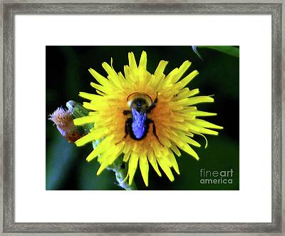 Bullseye Bumblebee Dandelion Framed Print