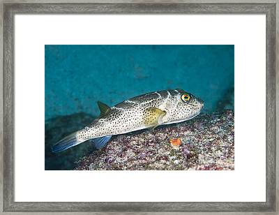 Bullseye Puffer - Galapagos Framed Print by Dave Fleetham - Printscapes