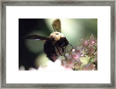 Bumblbee Bzzz Framed Print by Curtis J Neeley Jr