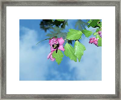 Bumble Bee 2 Framed Print by Evelyn Patrick
