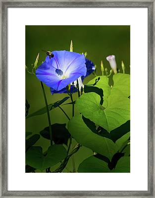 Bumble Bee Framed Print by Bill Wakeley