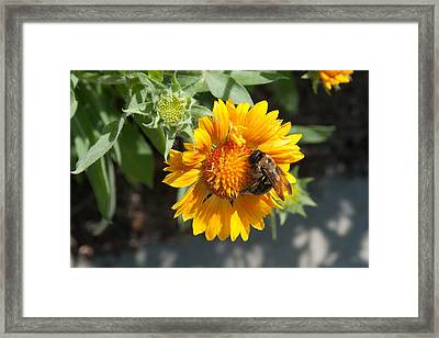 Bumble Bee Collecting Pollen On Sunflower Framed Print