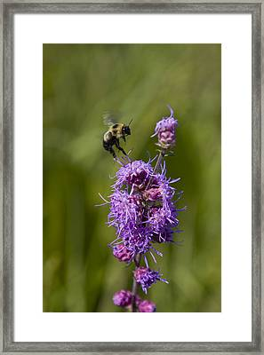 Bumble Bee Dance 8210 Framed Print
