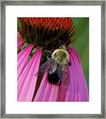 Bumble Bee Macro Framed Print by Martin Morehead
