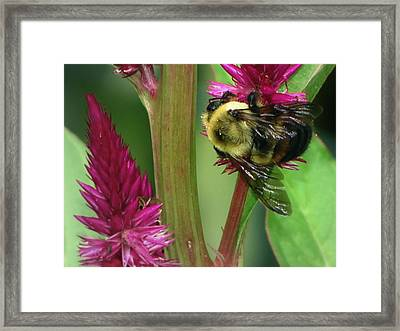 Bumble Bee  Framed Print by Martin Morehead