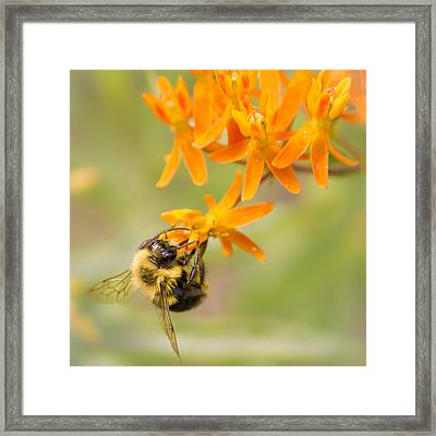 Bumble Bee On Butterfly Weed Framed Print