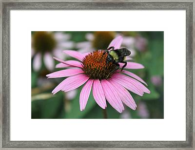 Bumble Bee On Pink Cone Flower Framed Print