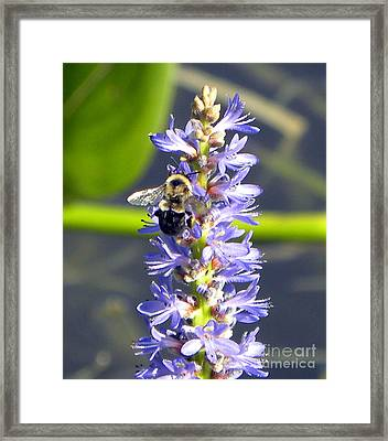 Bumble Bee On Purple Pickerel Rush Framed Print by Terri Mills