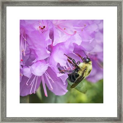 Bumble Bee On Rhododendron Framed Print by Jim Hughes