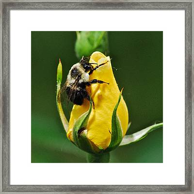 Bumble Bee On Rose  Framed Print by Michael Peychich