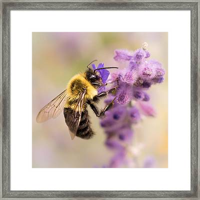 Bumble Bee On Russian Sage Framed Print by Jim Hughes