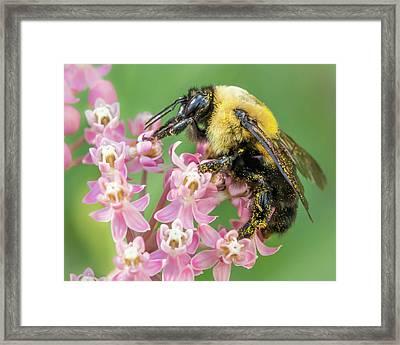 Bumble Bee On Milkweed Framed Print by Jim Hughes
