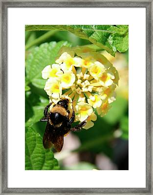 Bumble Bee On Yellow Flowers Framed Print