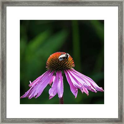 Bumble Bee Pollenating On Echinacea Pallida Cone Flower In Summe Framed Print