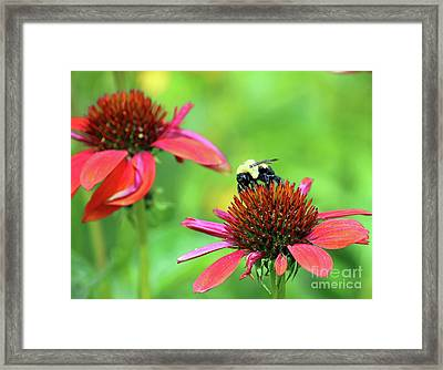 Bumble Bee Framed Print by Steve Gass