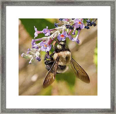 Framed Print featuring the photograph Bumble Bee Up Close And Personal by Lara Ellis