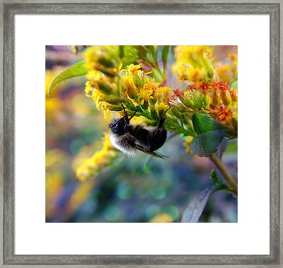 Bumble Bee Upside Down On Flower Framed Print by Lilia D