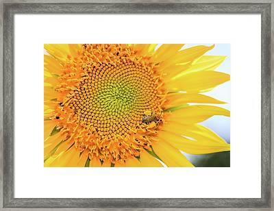 Bumble Bee With Pollen Sacs Framed Print
