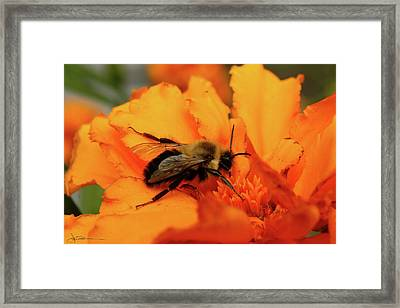Bumble Orange Framed Print