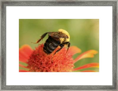 Framed Print featuring the photograph Bumblebee by Chris Berry