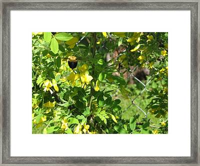 Bumblebee In Flight In Yellow Flowers Framed Print