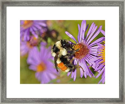 Bumblebee On Aster Framed Print by Gerald Hiam